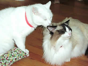 A white cat lovingly licks the head of a white & brown cat